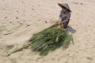The dry branches will be turned into brooms and sold. One of the hard jobs is to beat them on the sand and get all the seeds out.