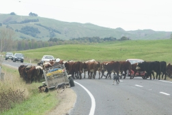 Be prepared to wait for a few minutes when the farmers take their herds home for the day. The beef has right of way.