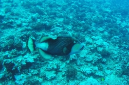 The Titan triggerfish can see a diver as an enemy if there is a nest near by. On this occasion however, there was none.