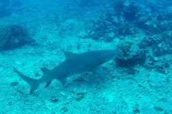 This lemon shark is two meters plus, but the species is known for being rather peaceful with humans.
