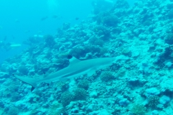 The black tip reef shark can attack swimmers, but as a diver you are much safer.