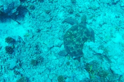 DHH flies past a resting sea turtle.