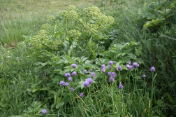 The Kvann, the large green plant behind the blue chives (gressløk) was once an important vegetable to the people of the arctic.
