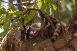 A raccoon in the tree top. He has total control and hardly bothers to look at us.