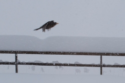 A Rigi starling - with not much warm weather to celebrate.