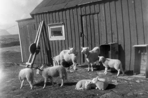 The Grandfather´s sheep in 1961.