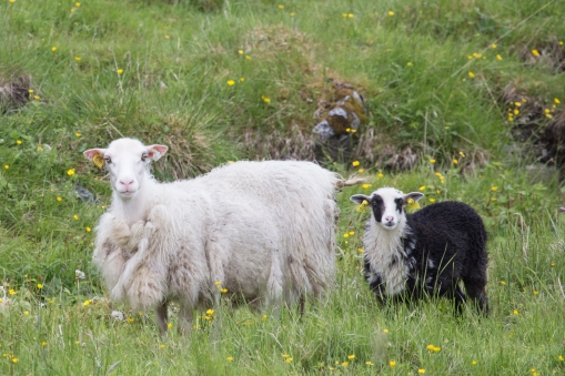 Doenna sheep today.