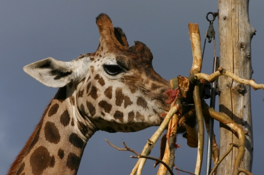 Can you really meet a giraffe in central London? Yes indeed you can, if you visit the Zoo