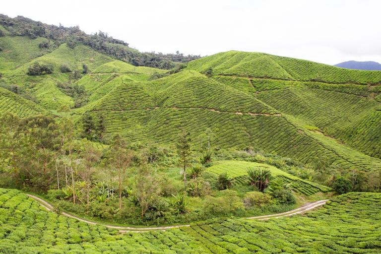The rolling green hills of the Cameron Highlands