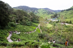 The rolling green hills of the Cameron Highlands.