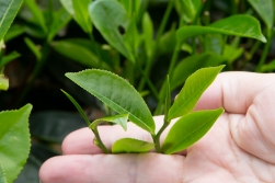 Theyoung fresh leaves of the tea tree could be used to make green tea and the bigger leaves for black tea. However, you can also roll everything into one heap and produce fermented black tea, and this is what happens here!