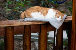 Resident Cat, Tiger, makes herself comfortable in a pillow that someone has left on the top of the railing.